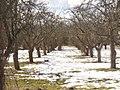 Blankenfelde - Obstgarten (Apple Orchard) - geo.hlipp.de - 34396.jpg