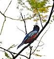 Blue-crowned Trogon (Trogon curucui) male (31820099065).jpg