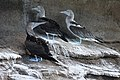 Blue-footed Boobies (47778235771).jpg