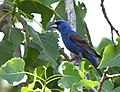 Blue Grosbeak (35577582806).jpg