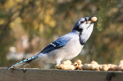 Blue Jay 3804 (5111185366)