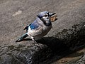 Blue jay in Central Park (81417).jpg