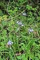 Bluebell - Hyacinthoides non-scripta - panoramio.jpg