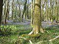 Bluebell wood near Staveley.jpg