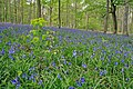 Bluebells in Chase Wood - geograph.org.uk - 408936.jpg