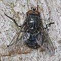 Bluebottle Calliphora vicina (16905381933).jpg