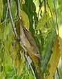 Blyth's Reed Warbler (Acrocephalus dumetorum) (43770529700).jpg
