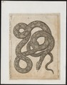 Boa constrictor - 1700-1880 - Print - Iconographia Zoologica - Special Collections University of Amsterdam - UBA01 IZ11900027.tif