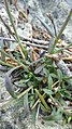 Boechera microphylla 3.jpg