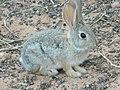 Bold bunny - panoramio.jpg