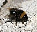 Bombus (Psithyrus) sylvestris - Forest Cuckoo Bumblebee - Flickr - S. Rae (1).jpg