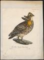 Bonasa cupido - 1825-1834 - Print - Iconographia Zoologica - Special Collections University of Amsterdam - UBA01 IZ17100367.tif
