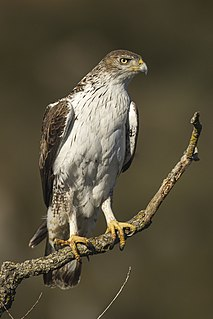 Bonellis eagle species of bird