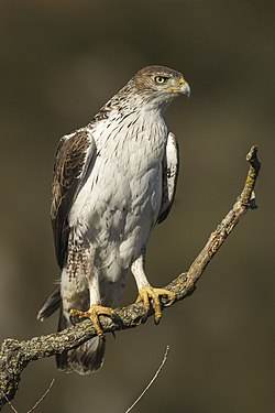 Bonelli's Eagle - Montsonis - Spain S4E8373 (24849913309).jpg