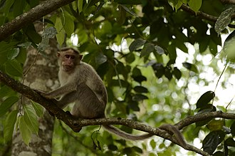 Bonnet macaque - Macaca radiata in Anamalai Tiger Reserve, Tamil Nadu, India
