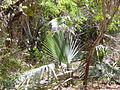 Borassus aethiopum 0029.jpg