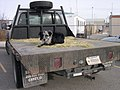 Border Collie in back of BLM truck in Boise Idaho.jpg