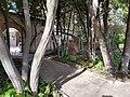 Bosquete de laureles maduros a la entrada al Huerto.jpg