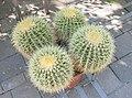 Botanical garden, Bp, Echinocactus grusonii, 2013-09-07.jpg