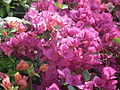 Bougainvillea from lalbagh 2190.JPG