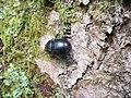 Bousier (Geotrupidae) (3).jpg