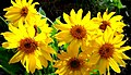 Branched Sunflowers.jpg