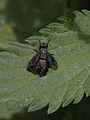 Breitmundfliege (Diptera- Platystomatidae) (9517242013).jpg