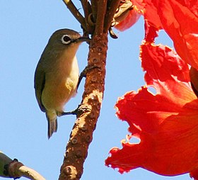 Bridled White-Eye.jpg