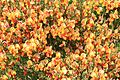 Broom colour variety - Flickr - S. Rae (1).jpg