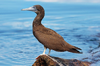 Wikipedia:Featured picture candidates/Brown Booby - Wikipedia - photo#15