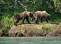 Brown Bear Cubs (19751785754).jpg