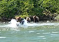 Brown Bear with cubs fishing (19738176604).jpg