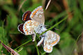 Brown argus butterflies (aricia agestis) 4 of 5.jpg