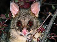 Brush tail possum 2-colour-corr.jpg