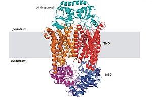 ATP-binding cassette transporter - Image: Btucd