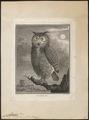 Bubo maximus - 1700-1880 - Print - Iconographia Zoologica - Special Collections University of Amsterdam - UBA01 IZ18400079.tif