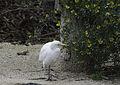 Bubulcus ibis - Grande volière.jpg