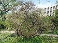 Buda Arboreta. Upper garden. Smoke bush (Cotinus coggygria). - Budapest.JPG