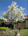 Budding Trees 3-30-13 (8618838371).jpg