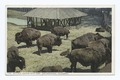 Buffalo, Golden Gate Park, San Francisco, Calif (NYPL b12647398-74282).tiff
