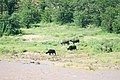Buffalo by the river (2362244318).jpg