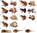 Bufonidae (10.3897-evolsyst.2.27020) Figure 1.jpg