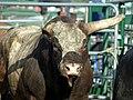Bull 1 horn.jpg