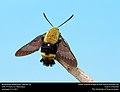 Bumblebee Hawkmoth, Hemaris sp. (34307101735).jpg