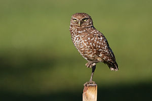 Burrowing Owl 4325.jpg