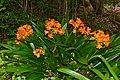Bush Lily (Clivia miniata) (32985230915).jpg