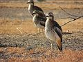 Bush Thick Knee group.jpg