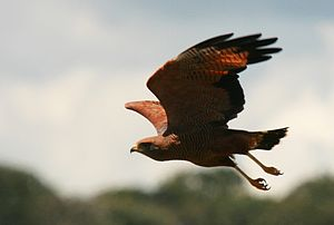 Savanna hawk - Flying in Goias, Brazil