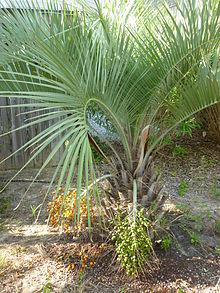 Butia capitata palm bearing both ripe and unripe fruit.jpg