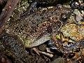 Butler's Pygmy Frog (Microhyla butleri) 粗皮姬蛙9.jpg